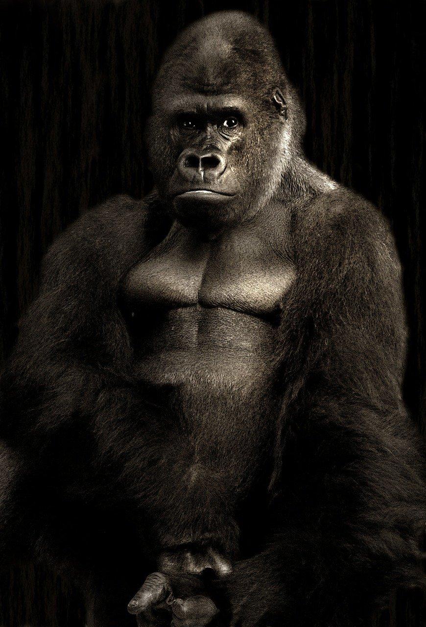 gorilla mit dunklem hintergrund